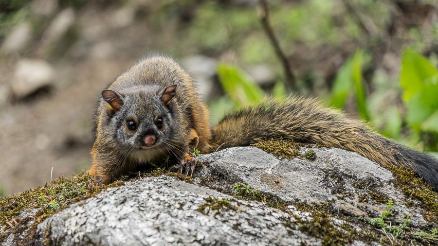 'The' Flying Squirrel