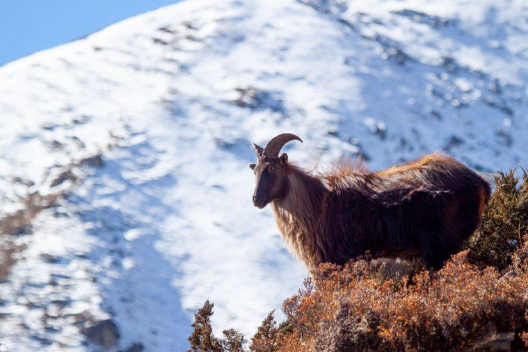Himalaya Tahr