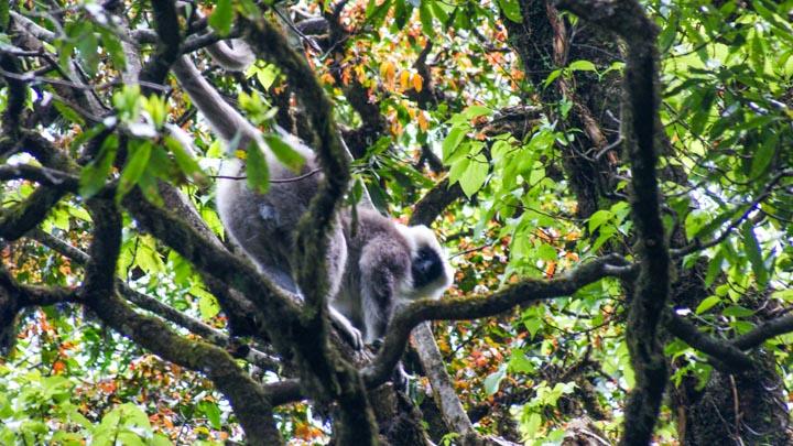 Nepal Gray Langur